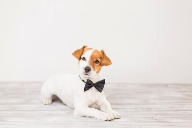 Śliczny młody mały biały pies jest ubranym czarną bowtie