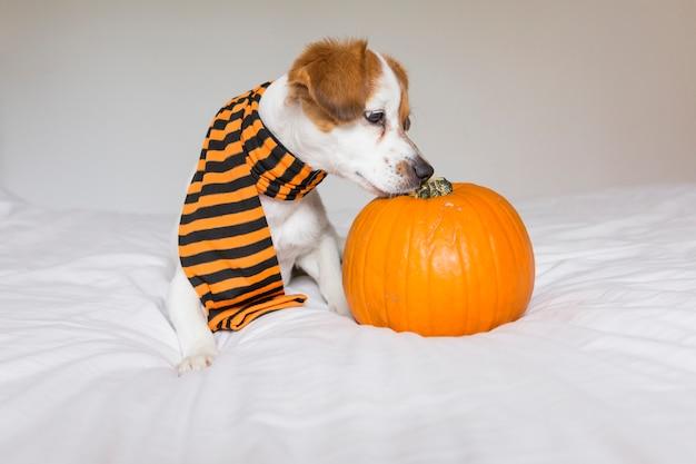 Śliczny młody mały pies pozuje na łóżku jest ubranym pomarańczowego i czarnego szalika i kłama obok bani. koncepcja halloween. białe tło