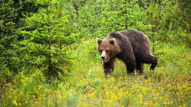 Śliczny młody niedźwiedź chodzi w naturalnym siedlisku polana