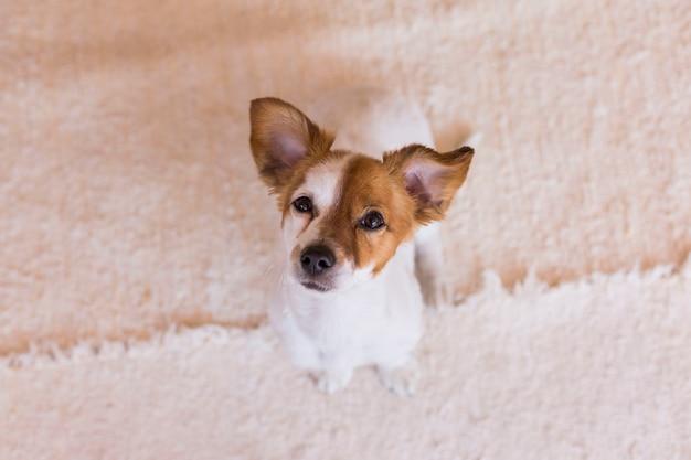 Śliczny młody pies patrzeje kamerę z śmiesznymi ucho. widok z góry.