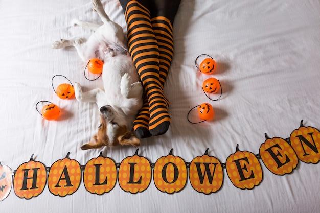 Śliczny młody piesek, leżący na łóżku obok nóg właścicieli, ubrany w czarno-pomarańczowe skarpetki. koncepcja halloween. widok z góry