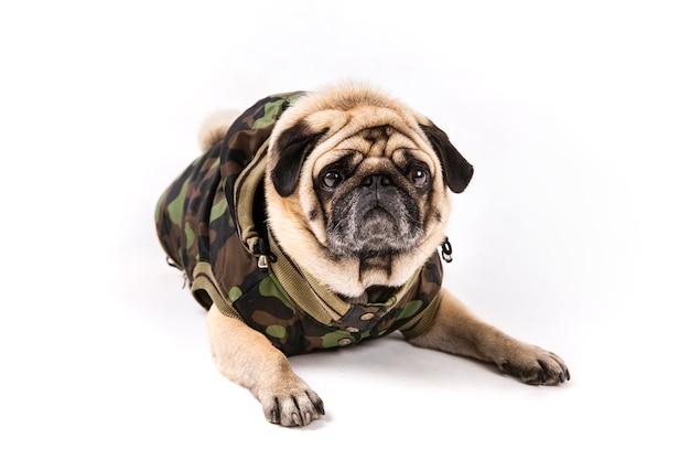 Śliczny mops kłaść w wojsku odziewa