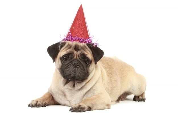 Śliczny mopsa pies z kapeluszem odizolowywającym