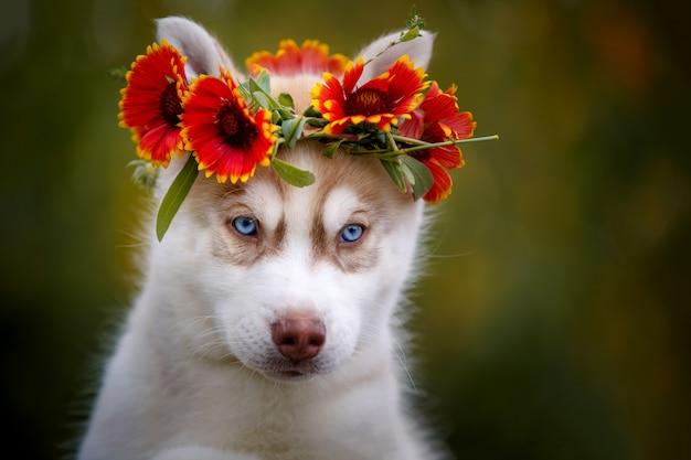 Śliczny niebieskooki siberian husky w wieniec z kwiatów.