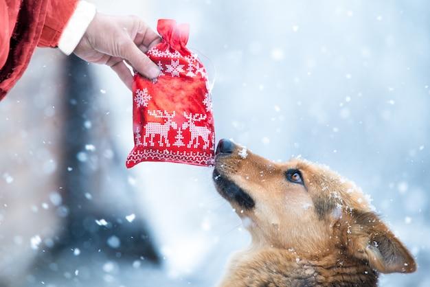 Śliczny owczarek niemiecki w czerwonym kapeluszu bierze świąteczną czerwoną przysługę prezent teraźniejszość f