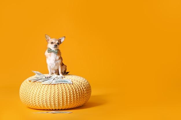 Śliczny pies chihuahua z pieniędzmi na wiklinowej pufie przeciw kolorowi