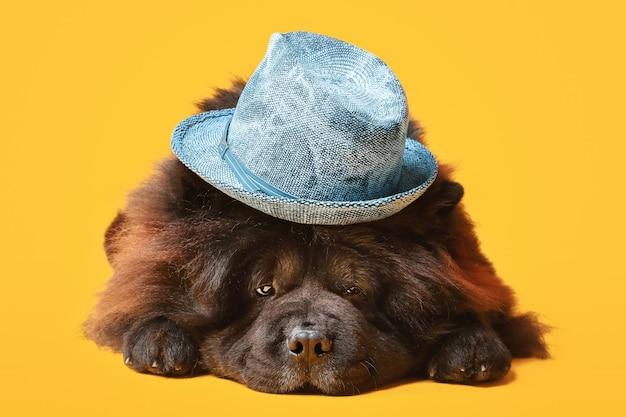 Śliczny pies chow-chow w kapeluszu