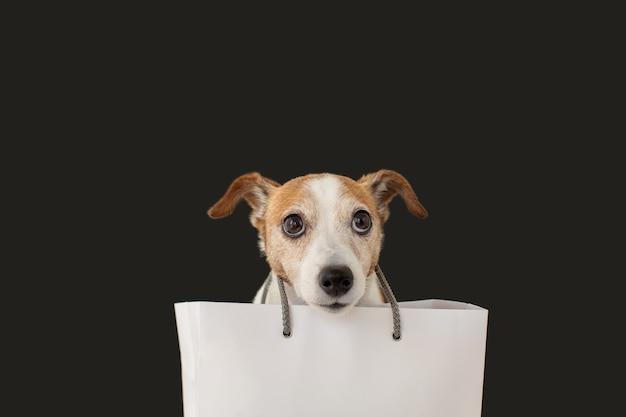 Śliczny pies jack russell terrier siedzący z białą papierową torbą i patrząc na czarno.