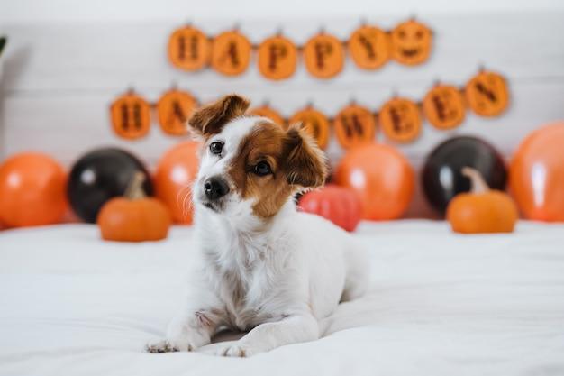 Śliczny pies jack russell w domu. dekoracja halloween w sypialni z balonami, girlandą i dyniami