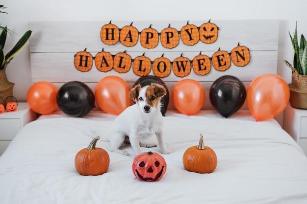 Śliczny pies jack russell w domu. dekoracja tła halloween w sypialni
