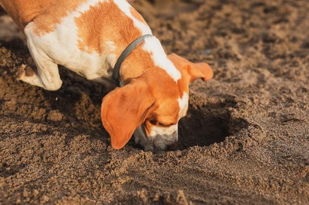 Śliczny pies kopie w piasku