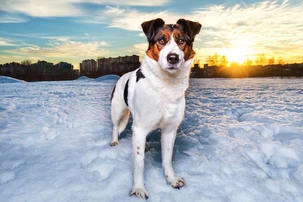 Śliczny pies kundel na spacerze po śniegu w winter park