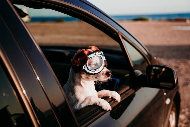 Śliczny pies podróżuje w samochodzie jest ubranym roczników gogle przy zmierzchem