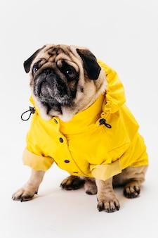 Śliczny pies pozuje w jaskrawych żółtych ubraniach