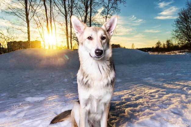 Śliczny pies rasy mieszanej na spacerze po śniegu i patrząc na kamerę w winter park