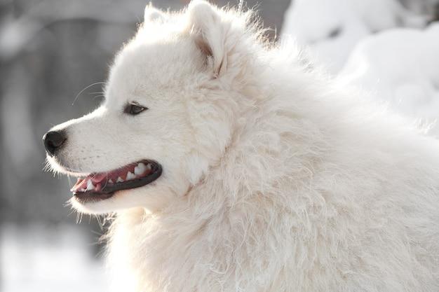 Śliczny pies samoyed w parku w zimowy dzień, zbliżenie