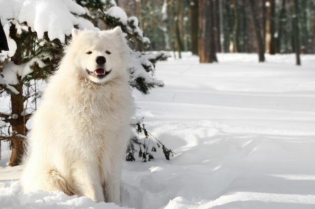 Śliczny pies samoyed w parku w zimowy dzień