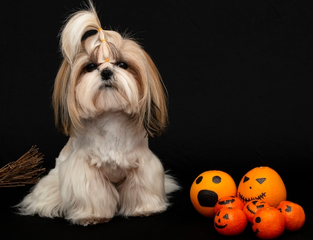 Śliczny pies shih tzu z cytrusami na halloween