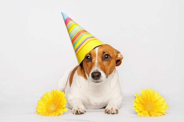 Śliczny pies w karnawałowym partyjnym kapeluszu świętuje urodziny.