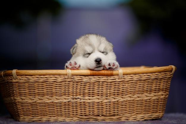 Śliczny portret małego siberian husky szczeniaka, który śpi w wiklinowym koszu.