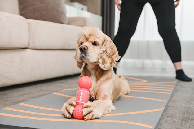 Śliczny posłuszny cocker spaniel zwierzak leżący na dywanie w salonie z dumnym pyskiem i złap różową gumową zabawkę dla psa, trening w domu
