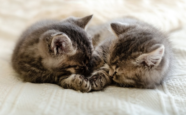 Śliczny pręgowany kotek śpi, przytula się, całuje na białym płatnym w domu. noworodek kotek, kot dziecko, dziecko koncepcja zwierząt i kotów. zwierzę domowe. domowy zwierzak. przytulny kot domowy, kociak. miłość.