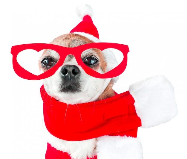 Śliczny psi chihuahua w santa claus kostiumu z czerwonymi szkłami na oczach na odosobnionym bielu.