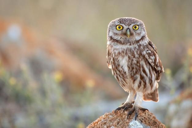 Śliczny ptak - małej sowy pozycja na skale na kolorowym tle (athene noctua)