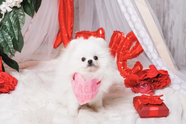 Śliczny puszysty biały pies (pomorskie) z darmowymi pocałunkami papierowe serce, koncepcja walentynki