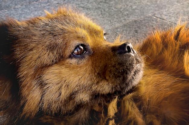 Śliczny puszysty czerwony pies ze smutnymi, zamyślonymi oczami w słońcu na ulicy