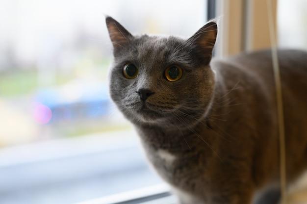 Śliczny puszysty kot czarny dymny kolor spoczywający w domu na parapecie