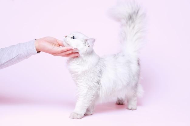 Śliczny puszysty kotek na różowo