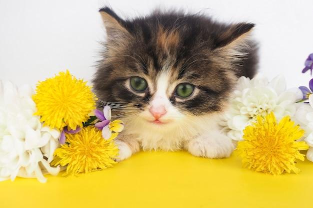 Śliczny puszysty kotek z żółtymi kwiatami wokół na żółtym stole i białym tle