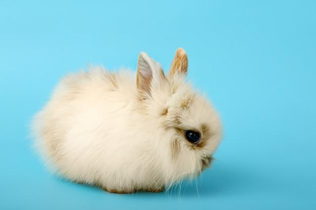 Śliczny puszysty królik w kolorze
