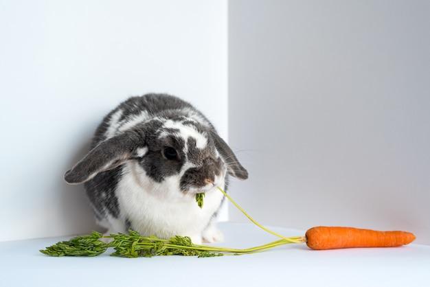 Śliczny, puszysty, nakrapiany królik domowy jedzący liście świeżej naturalnej marchwi, siedząc w rogu z białymi ścianami