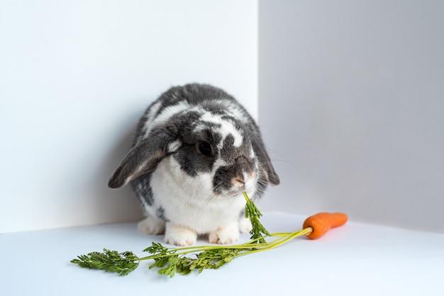 Śliczny, Puszysty, Nakrapiany Królik Domowy Jedzący Liście świeżej Naturalnej Marchwi, Siedząc W Rogu Z Białymi ścianami Premium Zdjęcia