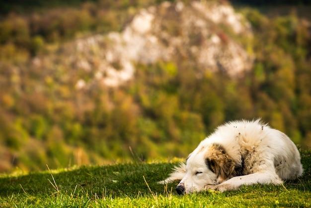 Śliczny puszysty pies pasterski leżący na zielonej trawie ze skalistymi górami w tle