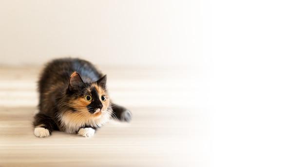 Śliczny puszysty trójkolorowy pomarańczowo-czarno-biały figlarny młody kot leżący na drewnianej podłodze i skupiony z ciekawością odwracając wzrok. skopiuj miejsce na tekst. ulubione zwierzęta domowe.