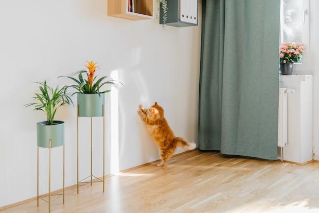 Śliczny rudy kot bawiący się promieniem słońca w pomieszczeniu