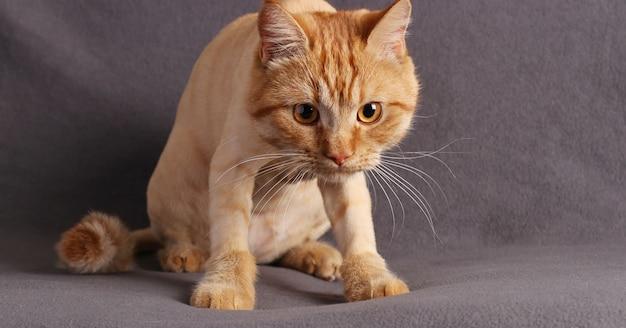 Śliczny rudy kotek wpatrujący się uważnie w zbliżenie aparatu na szarym tle, format poziomy