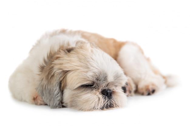 Śliczny shih tzu pies śpi na podłodze