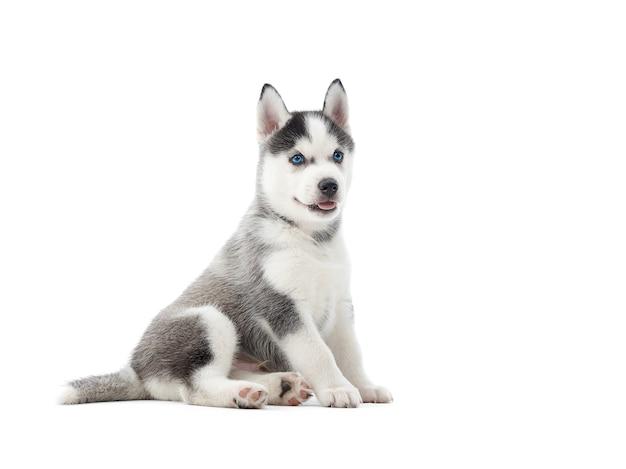 Śliczny siberian husky szczeniak na podłodze