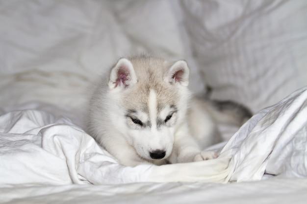 Śliczny siberian husky szczeniaka obsiadanie na białym tle. pies leży na łóżku. szczeniak oddaje się.