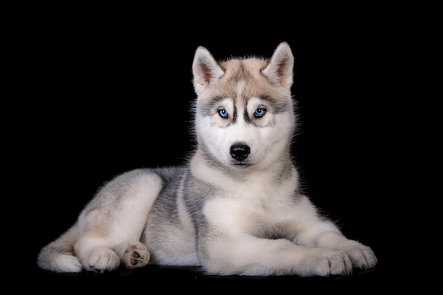 Śliczny siberian husky szczeniaka portret odizolowywający