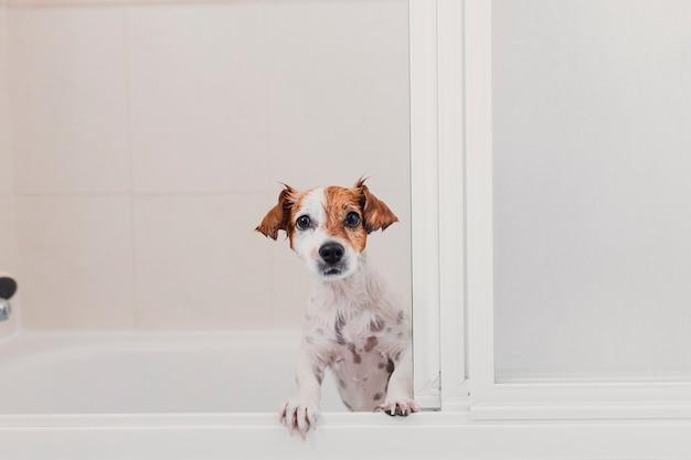 Śliczny śliczny mały pies mokry w wannie. młoda kobieta właściciel dostaje jej psa czyści w domu