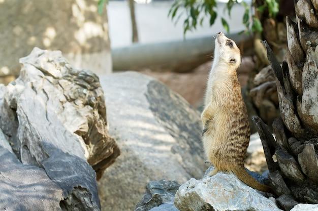 Śliczny świat zwierząt, egzotyczne zwierzęta z surykatek (suricate)
