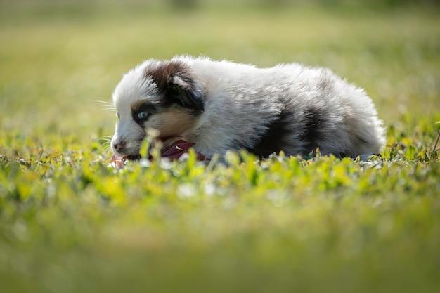 Śliczny szczeniak owczarka australijskiego w trawie na zewnątrz
