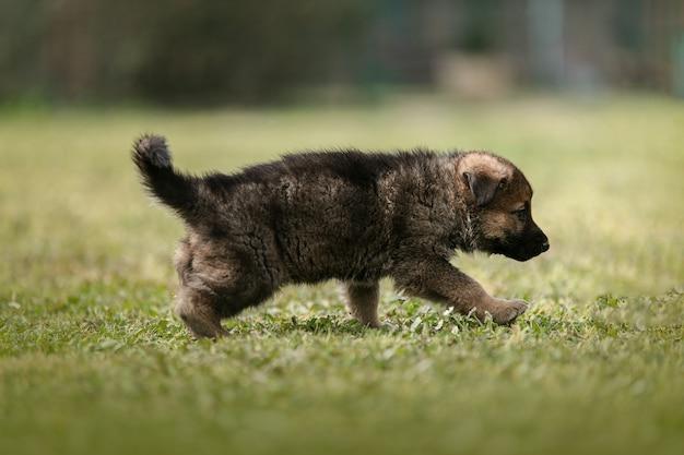 Śliczny szczeniak owczarka niemieckiego w trawie na zewnątrz