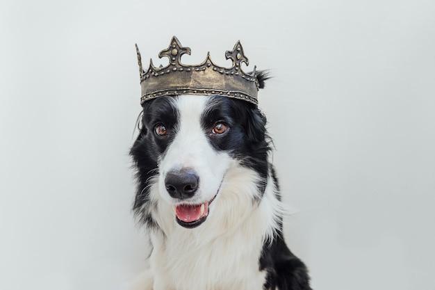 Śliczny szczeniak pies rasy border collie z śmieszną twarzą sobie królewską koronę na białym tle