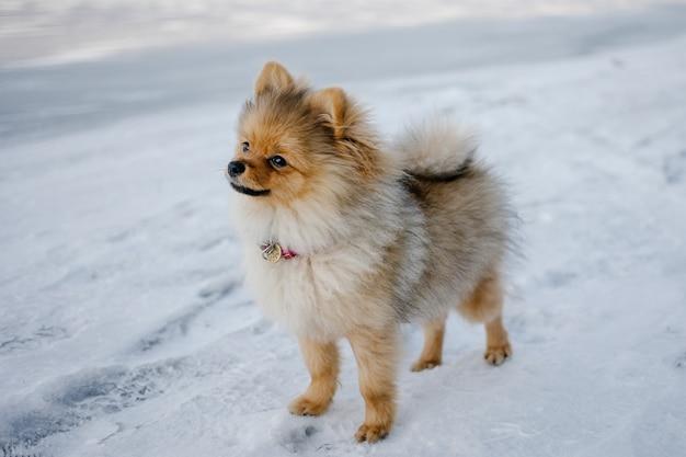Śliczny szczeniak pies rasy pomorskiej spaceru na zewnątrz wśród śniegu w zimowy krajobraz.